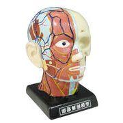 【おもしろ 雑貨 バラエティ】頭部解剖模型バンク(S) 人体模型 理科 リアル 貯金箱