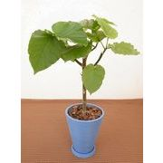 パステルストライプ皿付 ミニ観葉植物/観葉植物/モダン/インテリア/寄せ植え/ガーデニング