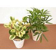 ダイヤカットウェア ミニ観葉植物/観葉植物/モダン/インテリア/寄せ植え/ガーデニング