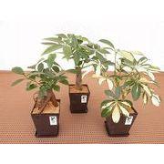 バイオマスポットM皿付 ミニ観葉植物/観葉植物/モダン/インテリア/寄せ植え/ガーデニング