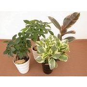 プラウェーブ ミニ観葉植物/観葉植物/モダン/インテリア/寄せ植え/ガーデニング