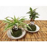 こけ玉和風大皿 ミニ観葉植物/観葉植物/モダン/インテリア/寄せ植え/ガーデニング