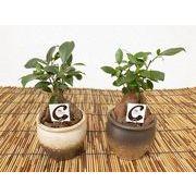 ガジュマル和壺型鉢 ミニ観葉植物/観葉植物/モダン/インテリア/寄せ植え/ガーデニング
