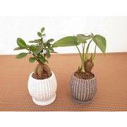 モノトンリップルウェア皿付 ミニ観葉植物/観葉植物/モダン/インテリア/寄せ植え/ガーデニング