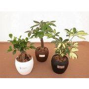 観葉ウォーターサプライ ミニ観葉植物/観葉植物/モダン/インテリア/寄せ植え/ガーデニング