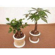 マフィンカップ皿付 ミニ観葉植物/観葉植物/モダン/インテリア/寄せ植え/ガーデニング