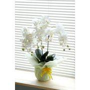 光触媒 胡蝶蘭 ホワイト