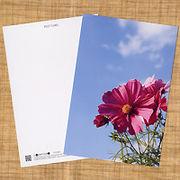 花のポストカード コスモス(ピンク)2