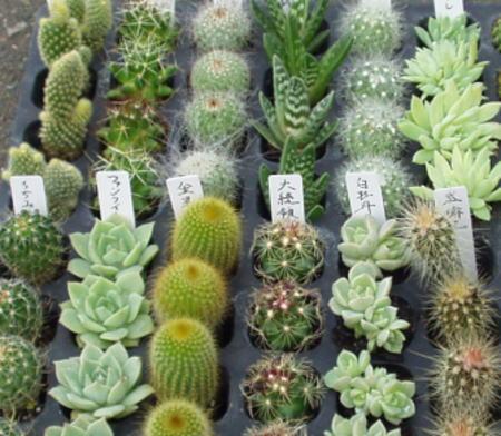 寄せ植えに最適サイズのプラグ苗 サボテン/さぼてん&多肉植物