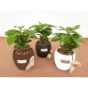 コーヒーの木 ウォーターサプライ ミニ観葉植物/観葉植物/モダン/インテリア/寄せ植え/ガーデニング
