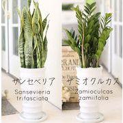 観葉植物 サンセベリア または ザミオクルカス インテリア