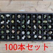 植物 ミニサボテ 苗100本セット 鉢植え 寄せ植え セット