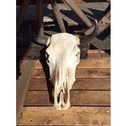 COW SKULL - MEXICO450