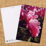 花のポストカード シクラメン(ピンク)