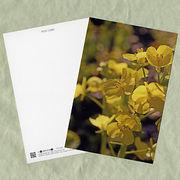 花のポストカード ナノハナ