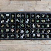 植物 ミニサボテ 苗50本セット 鉢植え 寄せ植え セット
