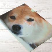 柴犬まるのクリアファイル きらきらおめめで見つめるよ